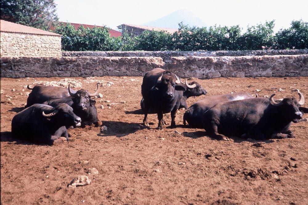 水牛たちは泥パックで害虫を寄せ付けないようにしているらしい。南イタリア世界遺産、パエストゥム周辺モッツァレッラ水牛のチーズ工場